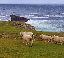 Sheep at the Butt of Lewis by kalaryder