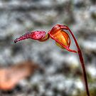 Flying Duck Orchid by Eve Parry