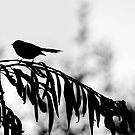 Fantail by Aerhona