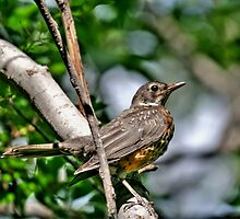Juvenile American Robin by Larry Trupp