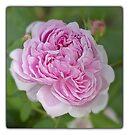 Rose Garden by KatarinaD