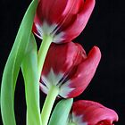 Red Tulip Sisters by Isabel J Coote Photography