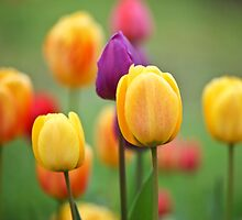 Tulips in the garden  by torishaa