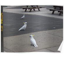 Cocky trio Poster