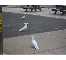 Cocky trio Photographic Print