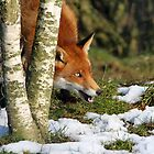 Red Fox by Christopher Lloyd