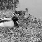 Black and White - Wild Ducks by vitez-art