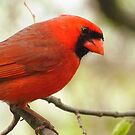 A Cardinal Morning by lorilee