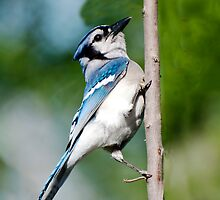 American Blue Jay by barnsis