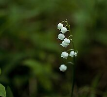 Lily of the valley by Anete Bauere
