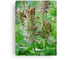 Crimson Clover Gone To  Seed Canvas Print