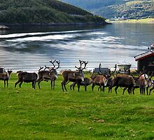 Reindeers on the way to Alta by LifePictures