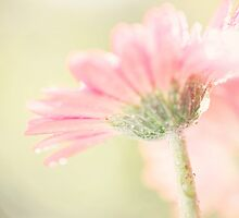 Soft pink by PhotoTamara