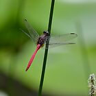 Dragonfly by TheaShutterbug