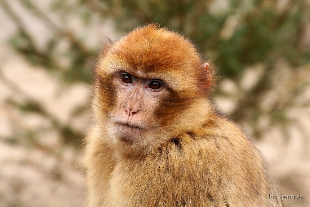 Portrait of A Barbary Macaque by Jo Nijenhuis