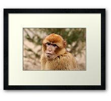 Portrait of A Barbary Macaque Framed Print