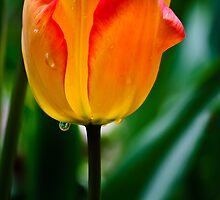 Soaken Tulip by Diego  Re