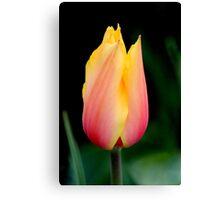 Tulip Pastels Canvas Print