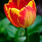Fire Tulip by Diego  Re