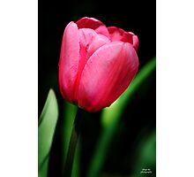 A Single Tulip Photographic Print