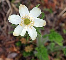 Wild Strawberry by Michael Collier