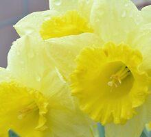 daffodils in the rain 2  by Tamgail