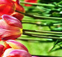 Tulips by Agnee