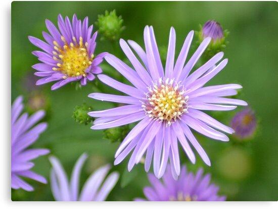 Purple Daisies by TheaShutterbug