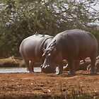 Hippos at Amboseli, Kenya by LSPJS