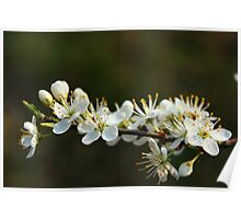Blackthorn Blossoms Poster