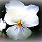 *Feature Page/Pansy - Enchanted Flowers*