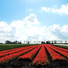 It is tulip time again in Holland by jchanders