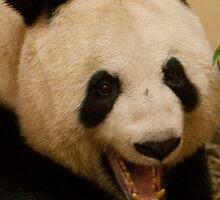 Tian Tian Yawn 3 by beardyrob
