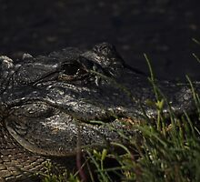 Alligator, As Is : ) by Kim McClain Gregal