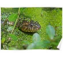Red Banded Water Snake Poster