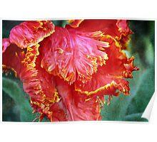 Flamenco Tulip Poster