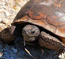 Gopher Tortoise by joevoz
