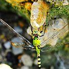Dragon Fly on a Rock by joevoz