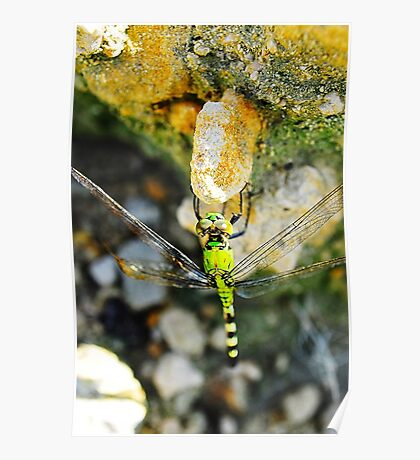 Dragon Fly on a Rock Poster