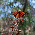 Monarch Butterfly by MargaretMyers