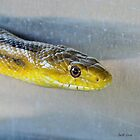 Yellow Rat Snake (Profile) by Jeff Ore