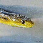 Yellow Rat Snake (Profile) by Jeff Ore