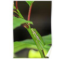 Sleepy Green Tree Frog Poster