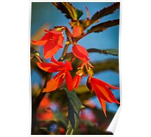 Begonia Flowers Poster