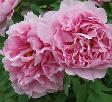 Tree Peony by Susan  Gratton