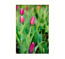 Colorful Pink Tulips Art Print