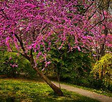 Redbud in bloom by LudaNayvelt