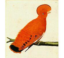 American Martinet Bird illustration Photographic Print