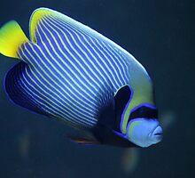 Emperor angelfish by Bob Hardy