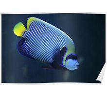 Emperor angelfish Poster